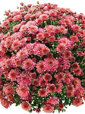 Хризантема дрібноквіткова низькоросла Bransound Cherry (3 шт) - 1