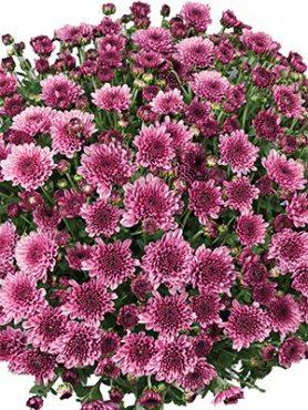 Хризантема мелкоцветковая низкорослая Branfountain Purple (3 шт)