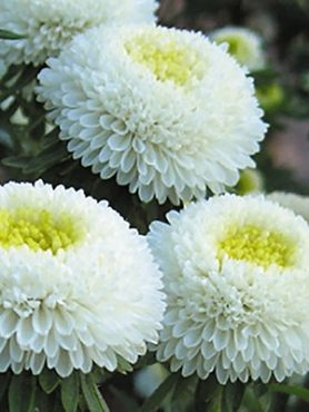 Айстра однорічна Помпонна Bolero White (0,5 г)
