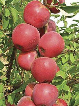 Яблоня колоновидная Пьедестал (1 шт)