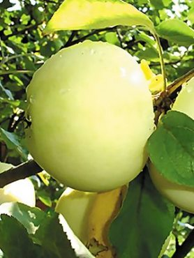 Яблоня Белый налив (1 шт)