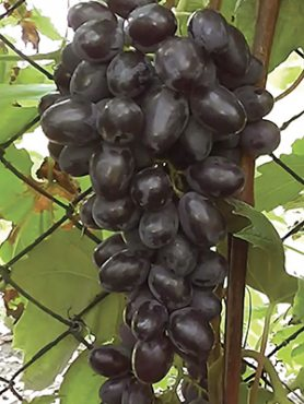 Виноград Дар Голуба (1 шт)