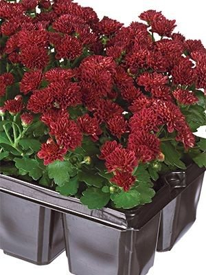 Хризантема мелкоцветковая низкорослая Baby Mum Red (9 шт) - 1