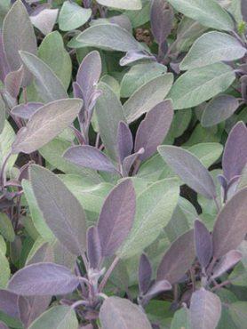 Шалфей лекарственный Purpurmantel (1 шт)