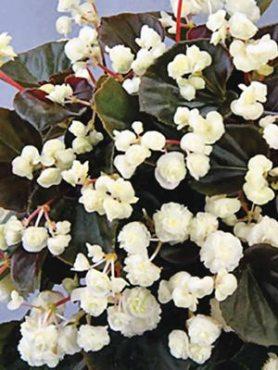 Бегония вечноцветущая Doublet White (1 шт)