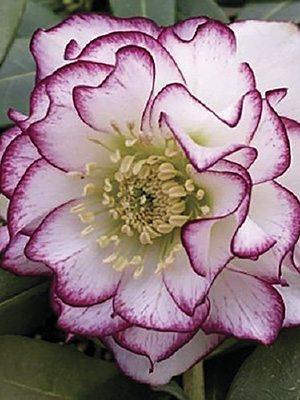 Морозник східний махровий, білий з пурпуровою облямівкою (1 шт) - 1