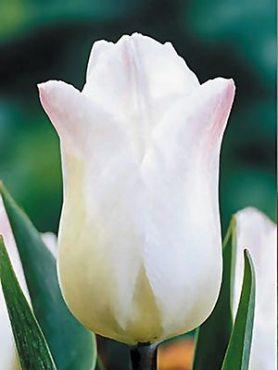 Тюльпаны Простые ранние Christmas Sweet 1112 (3 шт)