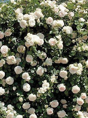 Роза плетистая Mont Blanc(1 шт) - 1