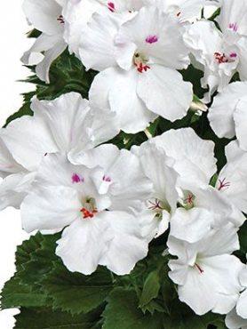 Пеларгония королевская Aristo Snow (1 шт)