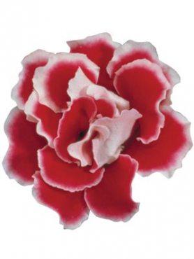 Глоксинія (синнінгія) гібридна Brocade F1, червона з білим краєм (5 шт)