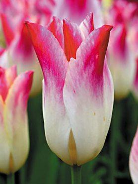 Тюльпани Лілієцвітні Whispering Dream 1112 (3 шт)