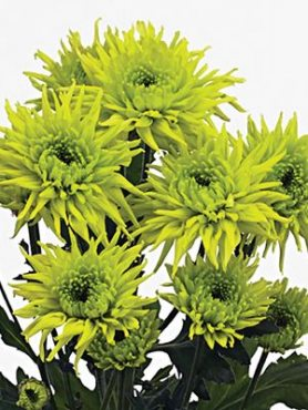 Хризантема срезочная Galiaro Green (3 шт)