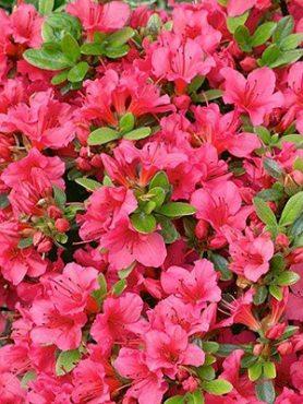 Рододендрон японский Geisha Rose (1 шт)