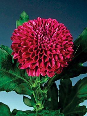 Хризантема срезочная Lollipop Purple (3 шт) - 1