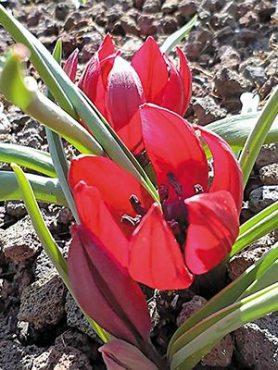 Тюльпани курдські 68 (3 шт)