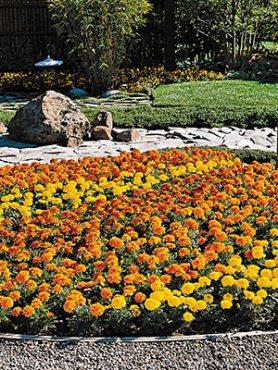 Бархатцы мелкоцветковые Bonanza, смесь (10 шт)