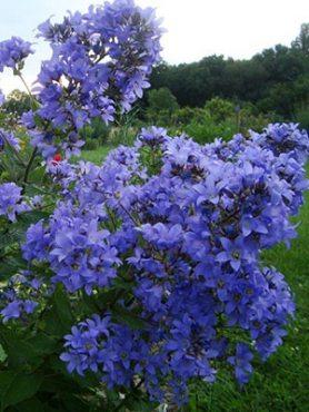 Дзвіночок молочноцветковый Prichard's Variety (1 шт)