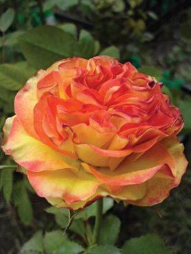 Роза чайно-гибридная High Society (1 шт)