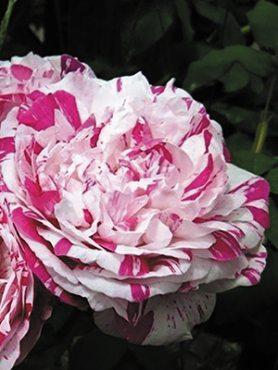 Роза шраб Ferdinand Pichard (1 шт)