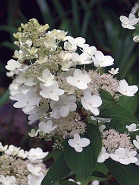 Гортензия метельчатая Tardiva (1 шт)