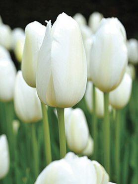 Тюльпаны Простые поздние Catherina 1011 (3 шт)