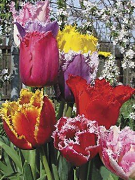 Тюльпаны Бахромчатые, смесь 1012 (50 шт)