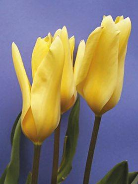 Тюльпаны Фостера Yellow Empress 1112 (3 шт)