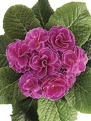 Примула обыкновенная Petticoat Lilac F1 (3 шт) - 1