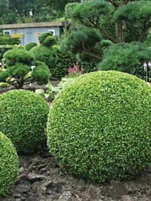 Самшит вечнозеленый разн. древовидная (1 шт) - 1