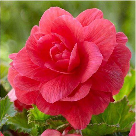 Бегонія бульбова махрова, рожева (1 шт) - 1