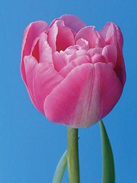 Тюльпаны Махровые поздние Vogue 10/11 (100 шт)