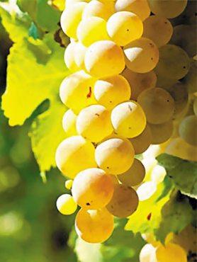 Виноград Мускат Оттонель (1 шт)