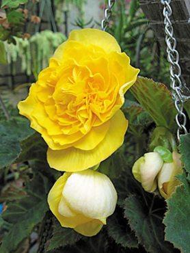 Бегонія бульбова Nonstop Mocca Yellow (6 шт)