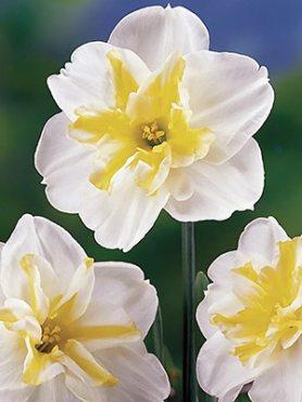 Нарциссы Разрезнокорончатые Lemon Beauty 10/12 (100 шт)