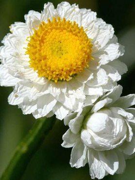 Аммобиум крилатий, білий з жовтим (0,10 г)