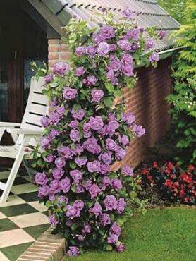 Роза плетистая Indigoletta(1 шт)