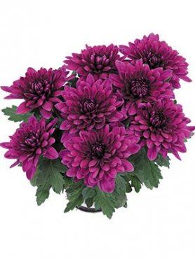 Хризантема горщикова Vido Purple (9 шт)