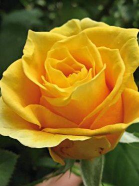 Роза чайно-гибридная Papillon (1 шт)