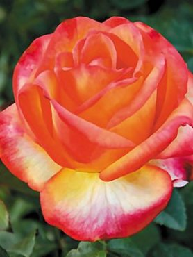 Роза чайно-гибридная High Lemon (1 шт)