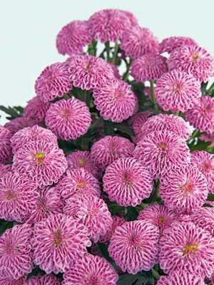 Хризантема срезочная Caroline (3 шт) - 1