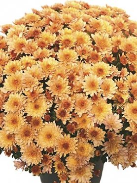 Хризантема мелкоцветковая низкорослая Branfountain Apricot (9 шт)