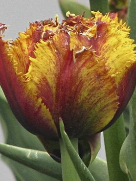 Тюльпаны Махровые бахромчатые Bastia 1112 (20 шт)