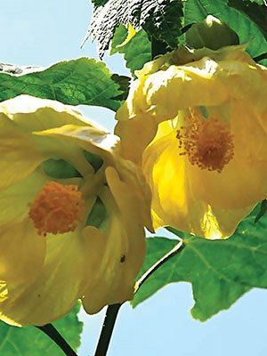 Абутилон гібридний Aminka Yellow (1 шт) - 1