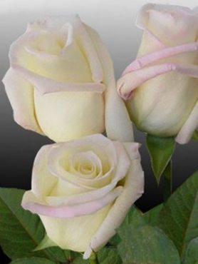 Роза чайно-гибридная Virginia(1 шт)