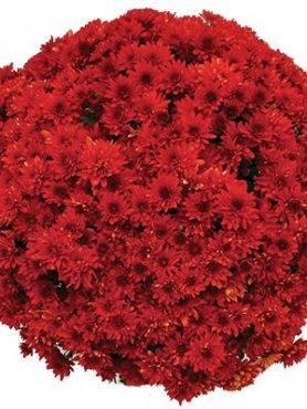 Хризантема мелкоцветковая низкорослая Branstorm (9 шт)