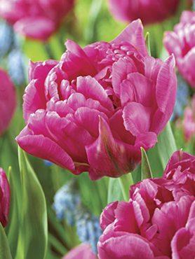 Тюльпаны Махровые ранние Dior 1112 (3 шт)