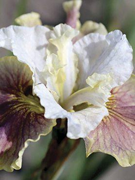Ирис сибирский Peacock Butterfly Wynne Magnolia (1 шт)