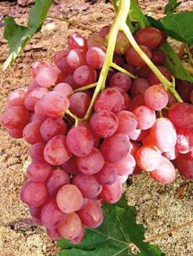 Виноград Велес(1 шт)
