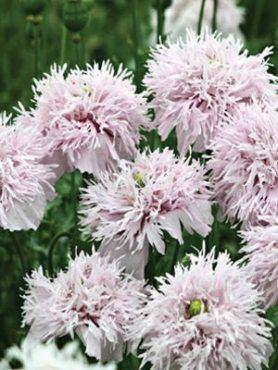Мак пионоцветковый Lilac Pompom, бузковий махровий (0,2 г)