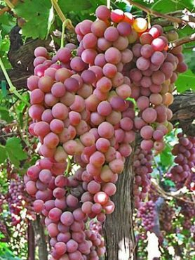Виноград Кишмиш розовый АЗОС (1 шт)
